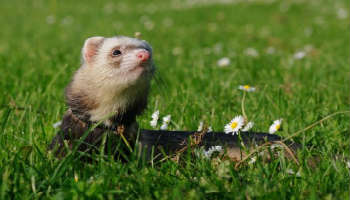 healthy body temperature for ferrets