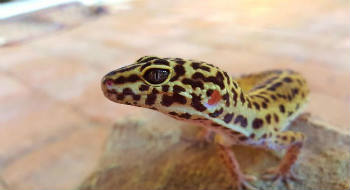 healthy temp leopard gecko